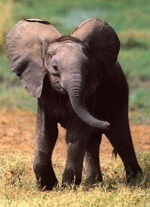 Les éléphants africains dans ELEPHANT k3abi3hy